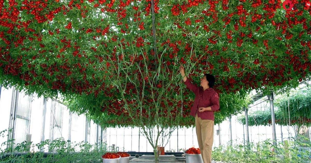 доматено дърво
